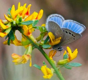 Rare Butterfly Making a Come-Back